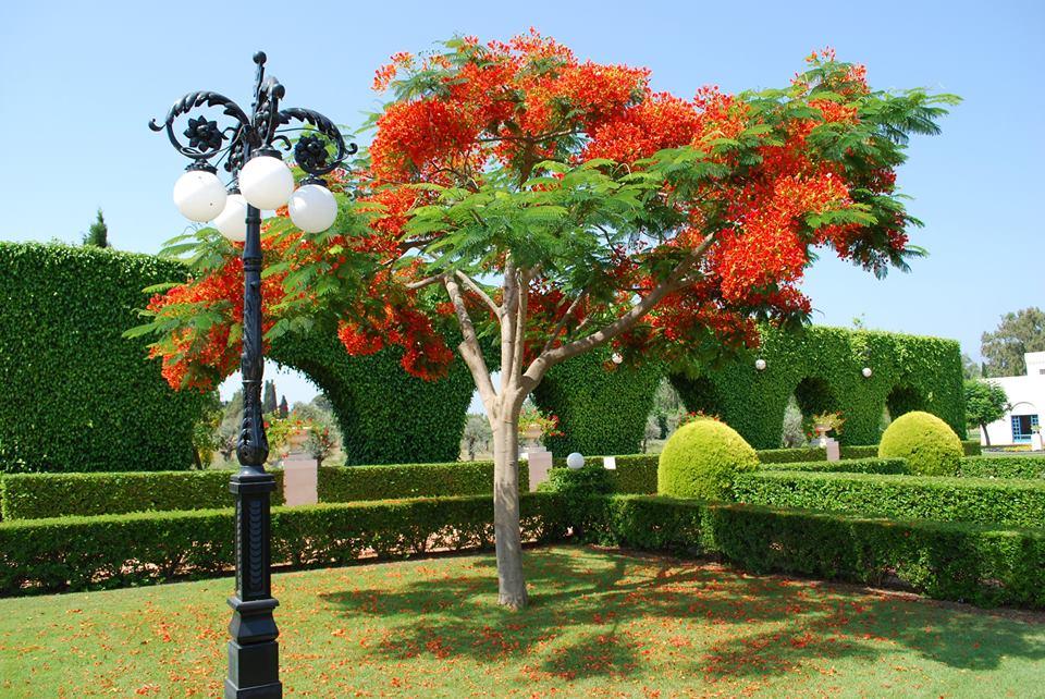A májusban virágzó tűzvirágfa a szép kert egyik ékessége